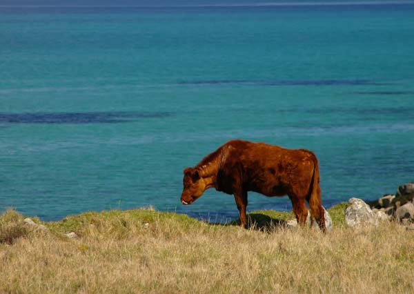 Barra - Vatersay - Cow