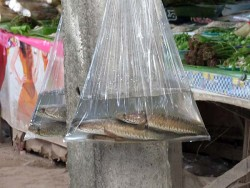 Thai Market - bags of fish, live ones